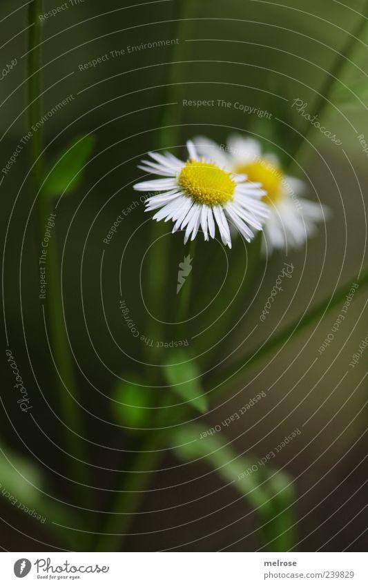 verborgen Natur Pflanze Sommer Blume Nutzpflanze Wildpflanze Kamillenblüten Kräuter & Gewürze Blühend gelb grün weiß Farbfoto Außenaufnahme Menschenleer