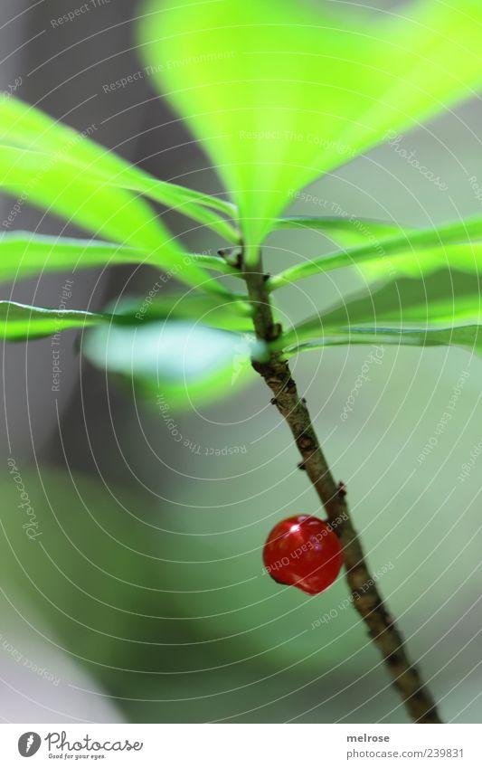 Einzelkämpfer Natur grün rot Pflanze Blatt braun Frucht Beeren Grünpflanze Wildpflanze