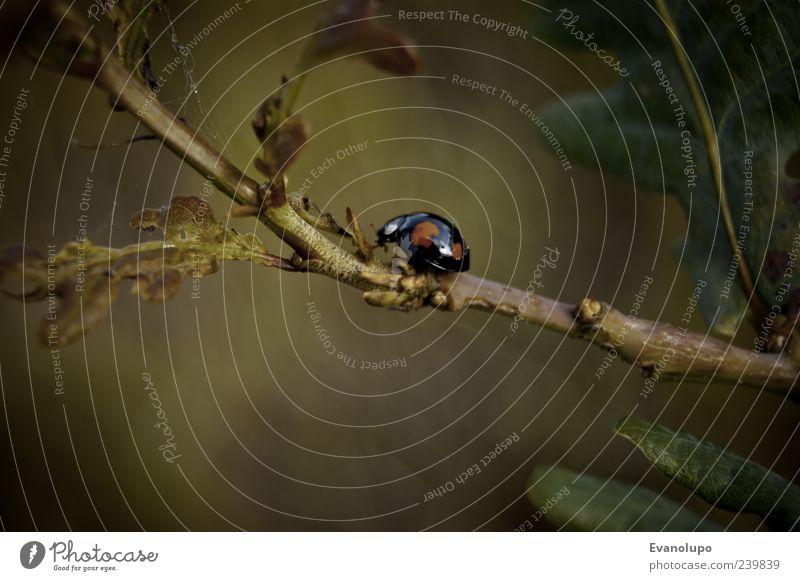 Such mich, wenn du kannst Umwelt Natur Pflanze Blatt Tier Wildtier 1 Tierjunges braun grün schwarz Marienkäfer Farbfoto Nahaufnahme Detailaufnahme Makroaufnahme