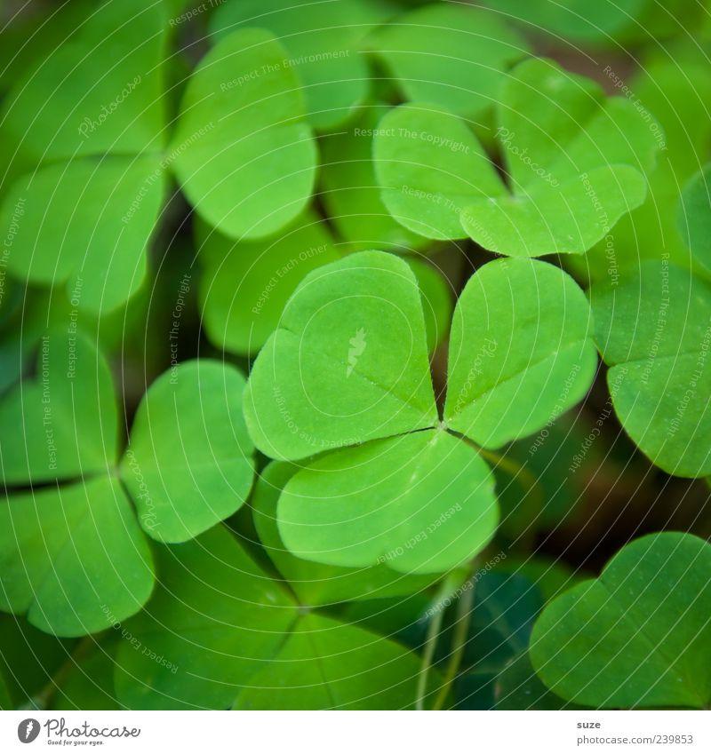 Klee Natur grün schön Pflanze Umwelt Gefühle Glück ästhetisch Zeichen viele Blume Grünpflanze Kleeblatt Wildpflanze Glücksbringer
