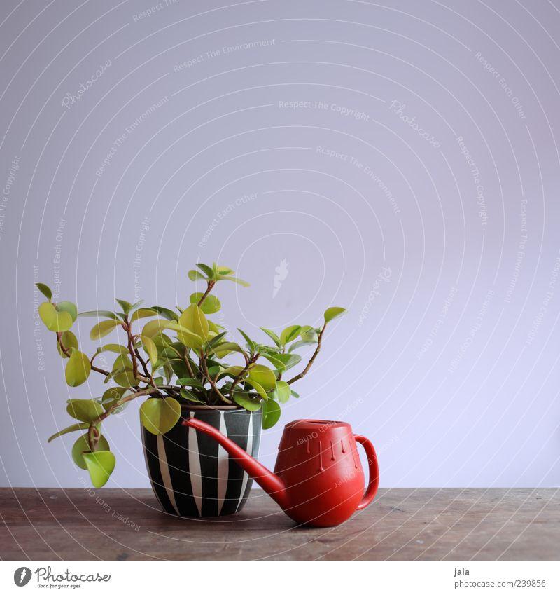 lieblingspflanze schön rot Pflanze ästhetisch Stillleben Blumentopf Grünpflanze Zimmerpflanze Gießkanne Topfpflanze