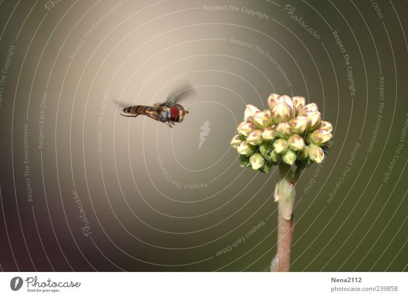 Terrorist? Natur weiß Pflanze Sommer Blume Tier Blüte Luft fliegen Flügel Ziel Insekt Blütenknospen Umwelt Konzepte & Themen Mistbiene