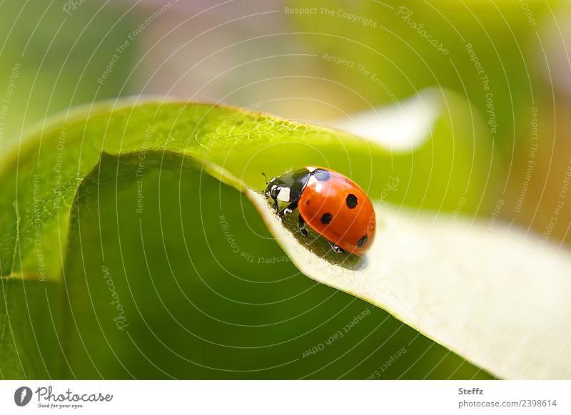 Glücksbringer Umwelt Natur Pflanze Tier Sommer Blatt Quittenblatt Garten Käfer Marienkäfer Insekt 1 krabbeln rund schön grün rot Romantik Symbole & Metaphern