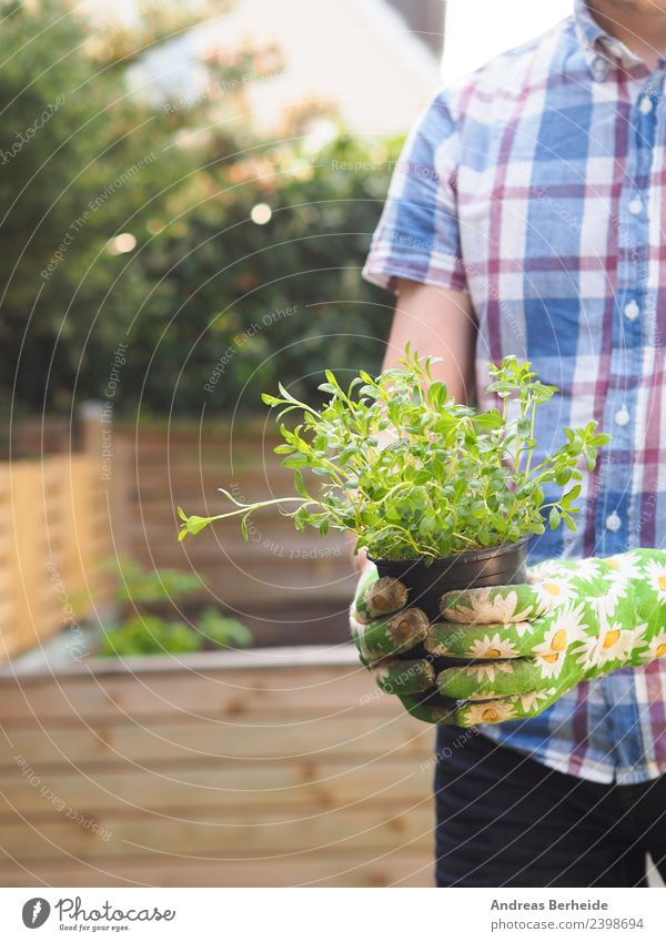 Bohnenkraut für das Hochbeet Kräuter & Gewürze Bioprodukte Gesunde Ernährung Freizeit & Hobby Sommer Garten Mensch Frau Erwachsene Natur Pflanze lecker nobody