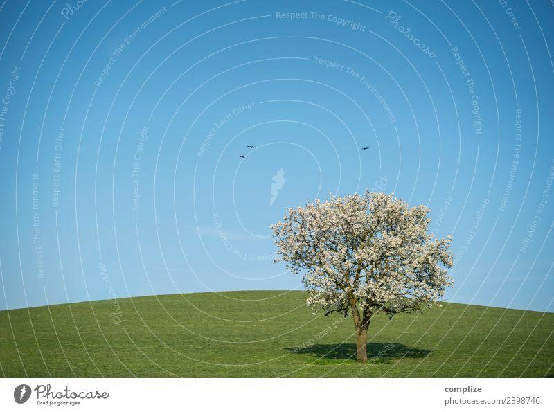 Blauer Himmel, blühender Baum & Hügel Wellness harmonisch Umwelt Natur Wolkenloser Himmel Horizont Schönes Wetter Wiese Feld Tier Vogel Zeichen Blühend Wachstum