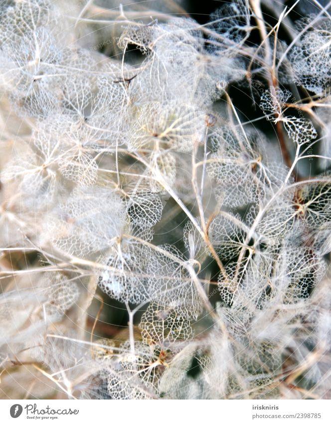 Hortensien Verfall Umwelt Natur Pflanze Frühling Blume Sträucher Garten fallen dehydrieren Wachstum alt trocken Hortensienblüte verfallen Winter Farbfoto