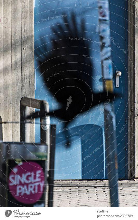 Rabe überbringt Nachricht von Single Party Tier Vogel fliegen Rabenvögel Silhouette Flügel Einladung Krähe game of thrones Farbfoto Außenaufnahme abstrakt