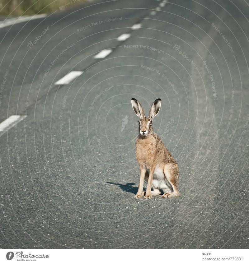Street King Natur Tier Umwelt Straße Wege & Pfade grau außergewöhnlich braun Verkehr sitzen Wildtier warten gefährlich Neugier Ostern Asphalt