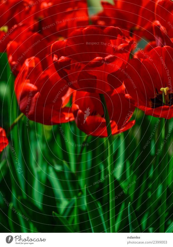 rot blühende Tulpen Sommer Garten Natur Pflanze Blume Blatt Blüte Park Blühend frisch hell natürlich grün Hintergrund Feld Frühling geblümt Beautyfotografie