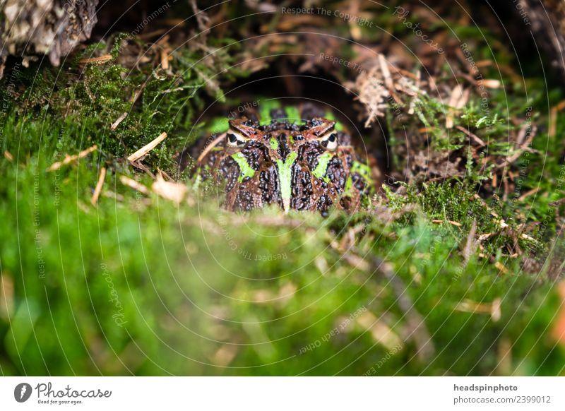 Versteckte Kröte (grün, schwarz) guckt in die Kamera Umwelt Natur Landschaft Erde Moos Tier Frosch Tiergesicht 1 beobachten außergewöhnlich verstecken Dieb