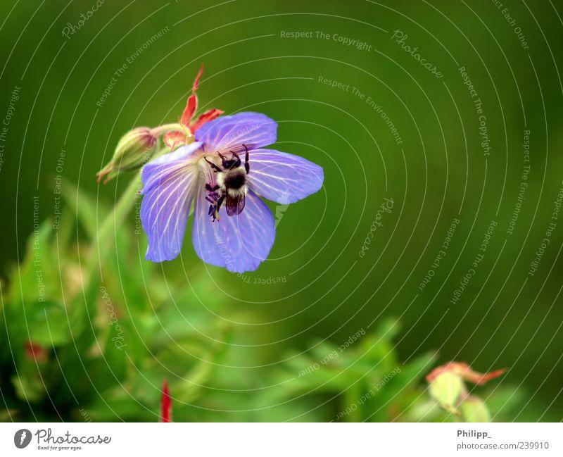 Von Hummeln und Bienchen ... Natur blau grün Pflanze Blume Tier Frühling Blüte Arbeit & Erwerbstätigkeit fliegen Wildtier Insekt fleißig Hummel Jahreszeiten bestäuben