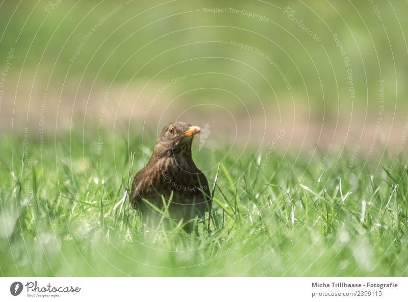 Neugierige Amsel auf der Wiese Natur grün Sonne Tier gelb Umwelt Auge Gras Vogel braun orange Kopf glänzend Wildtier stehen