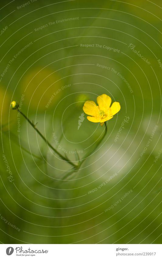 Blömche Natur Blume grün Pflanze gelb Wiese klein Umwelt Wachstum Stengel Blütenknospen einzeln Wildpflanze Hahnenfuß Sumpf-Dotterblumen