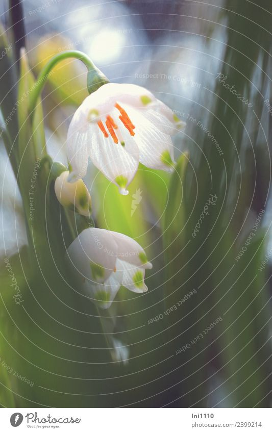 Märzenbecher Pflanze Frühling Schönes Wetter Blume Garten blau gelb grau grün orange schwarz weiß Frühlingsgefühle Lichteinfall Frühlingsblume Frühlingstag