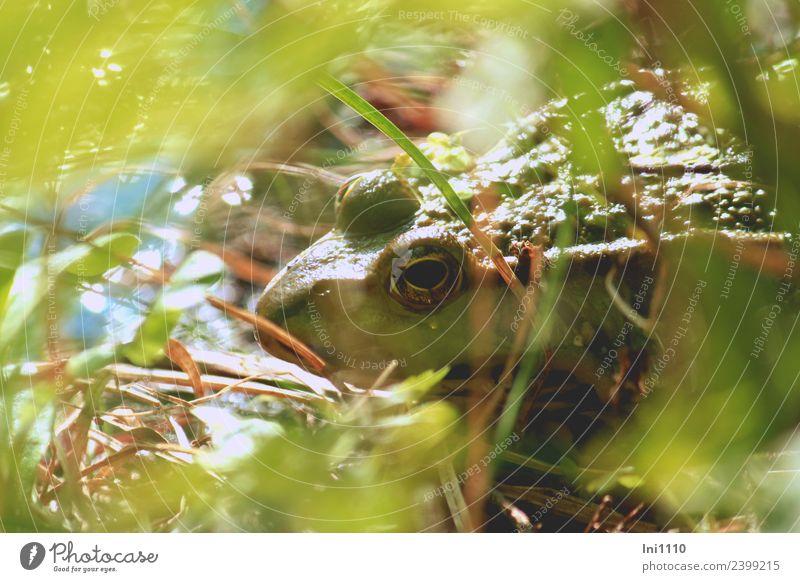 Frosch Natur Tier Sonne Frühling Schönes Wetter Garten Teich Wildtier 1 Blick warten Wasserfrosch Froschauge Froschperspektive Froschkönig beobachten