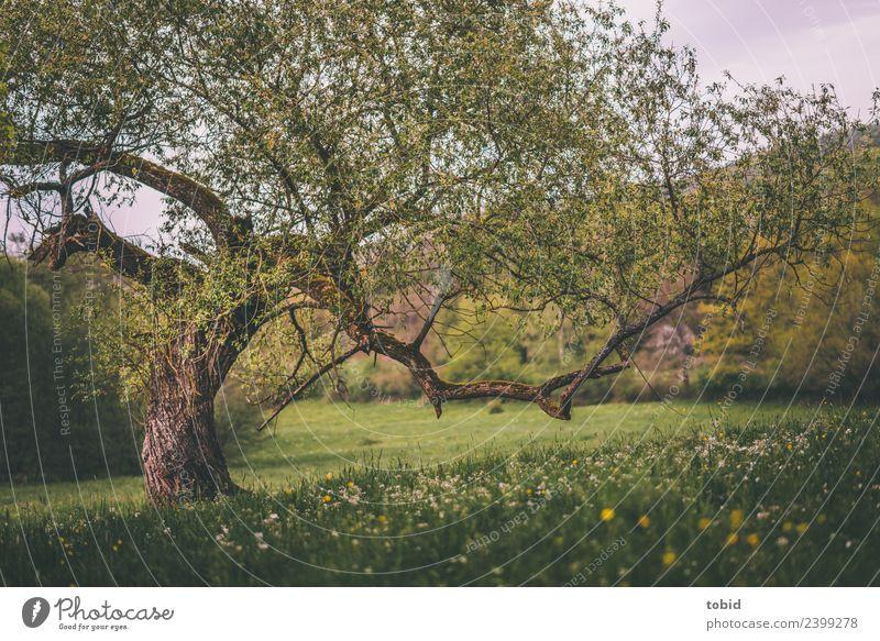 Knorriger alter Baum Natur Landschaft Pflanze Frühling Sommer Schönes Wetter Blume Gras Moos Wiese Wald Hügel Idylle Blumenwiese Baumrinde eigenwillig Baumstamm