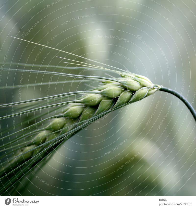 Basics of Life Gerste Getreide Korn Lebensmittel Pflanze Landwirtschaft grün Sommer Ähren Granne Wachstum Textfreiraum oben Textfreiraum unten Natur
