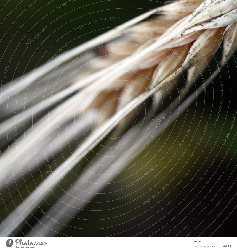 Basics of Life Pflanze Sommer gelb Lebensmittel braun Wachstum Getreide Landwirtschaft Korn Forstwirtschaft Ähren Gerste Ernährung Granne