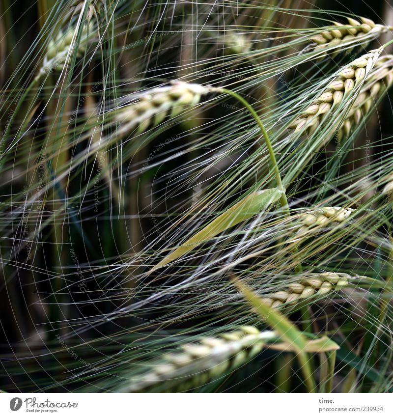 Basics of Life Gerste Getreide Korn Lebensmittel Pflanze Landwirtschaft grün Sommer Ähren Wachstum Natur Getreidefeld Textfreiraum links Menschenleer Gras