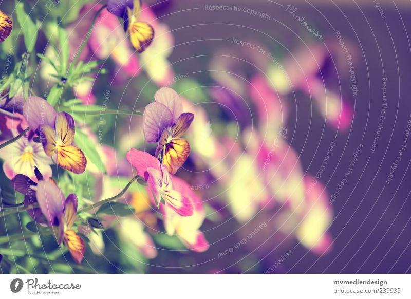 Stiefmütterchen Frühling Sommer Pflanze Blatt Blüte Warmherzigkeit Sympathie Hoffnung Sehnsucht Stiefmütterchenblüte Farbstoff Farbfoto Außenaufnahme Unschärfe