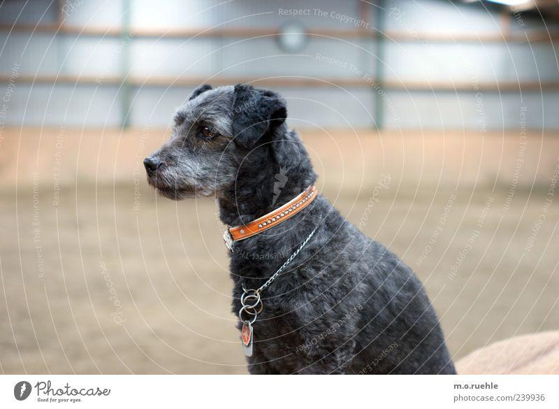 Hund sucht Hündin schön Tier schwarz Traurigkeit träumen Stimmung natürlich niedlich Fell Freundlichkeit Haustier tierisch Tierliebe Hundehalsband Hundeblick