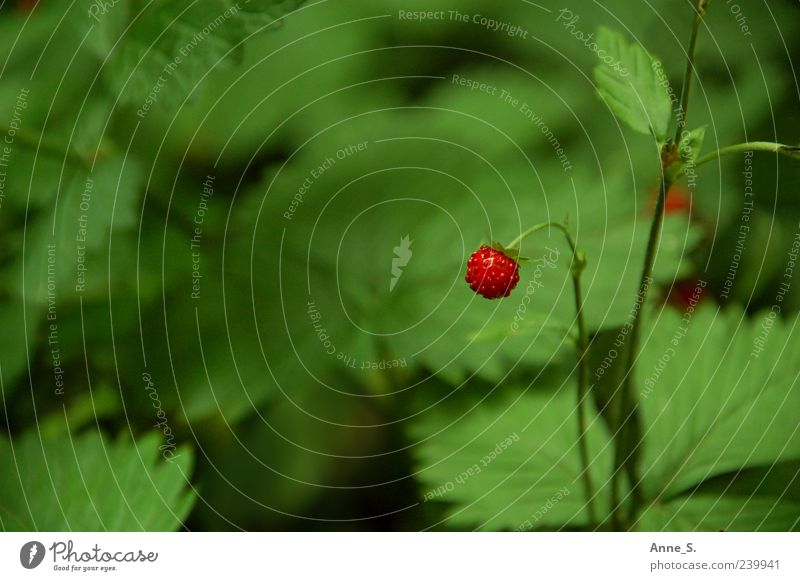 klein und wild Natur grün rot Pflanze Sommer Blume Erholung Umwelt Garten Gesundheit Frucht außergewöhnlich natürlich wild Ausflug süß