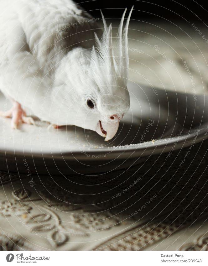 ist der Kuchen schon gegessen, haben die Krümmel ein Problem.. schön weiß Tier Auge hell Kopf Vogel Feder niedlich Neugier dünn nah lecker Haustier Teller Fressen