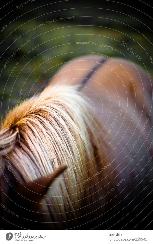 Mähne Natur Ferien & Urlaub & Reisen Tier gelb Bewegung braun blond gold natürlich elegant ästhetisch stehen Rücken Pferd Idylle