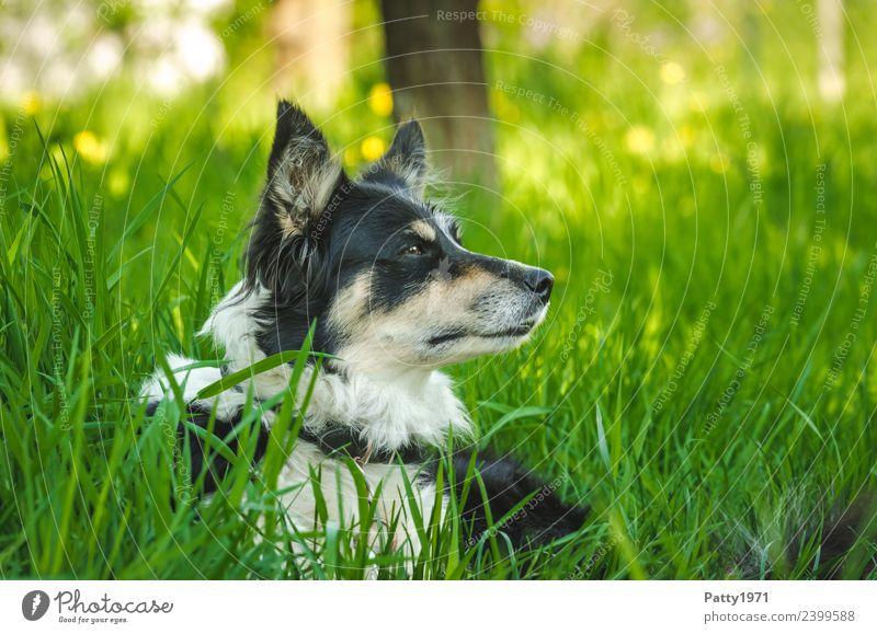 Border Collie Natur Landschaft Gras Wiese Tier Haustier Nutztier Hund Hirtenhund Schäferhund 1 beobachten liegen Sicherheit Schutz achtsam Wachsamkeit Neugier