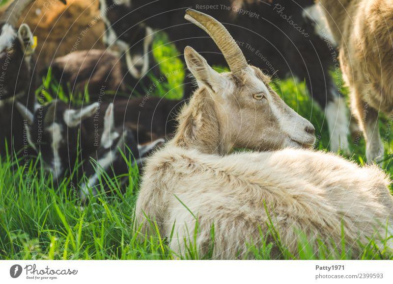 Thüringer Waldziegen Natur Landschaft Wiese Weide Tier Haustier Nutztier Ziegen 1 Tiergruppe Herde liegen Blick Erholung Idylle Farbfoto Außenaufnahme