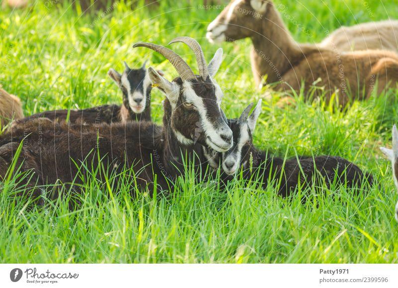 Thüringer Waldziegen Natur Landschaft Wiese Weide Tier Haustier Nutztier Ziegen Tiergruppe Tierfamilie genießen liegen schlafen Erholung Idylle Zusammenhalt