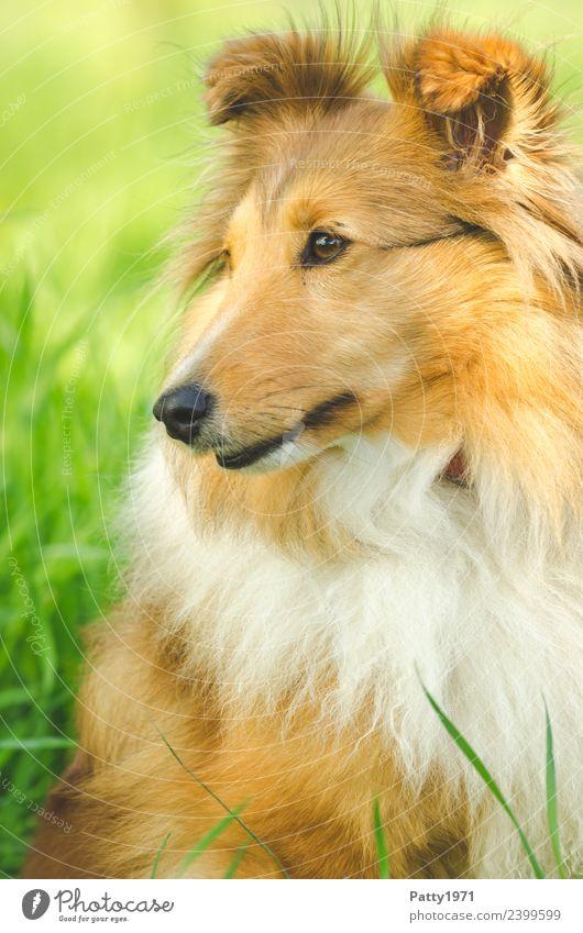 Shetland Sheepdog Natur Landschaft Gras Wiese Tier Haustier Nutztier Hund Collie Sheltie Hirtenhund Schäferhund 1 beobachten sitzen Schutz Farbfoto