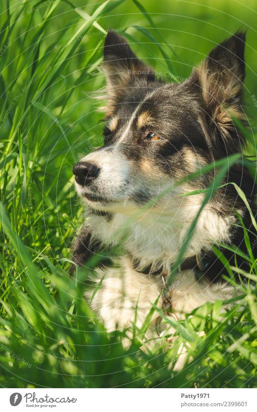Border Collie Natur Landschaft Gras Wiese Tier Haustier Nutztier Hund Schäferhund Hirtenhund 1 beobachten liegen Sicherheit Schutz achtsam Wachsamkeit Neugier