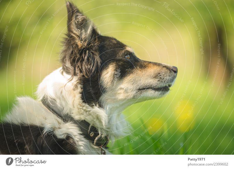 Border Collie Natur Landschaft Gras Wiese Tier Haustier Nutztier Hund Hirtenhund Schäferhund 1 beobachten Sicherheit Schutz achtsam Wachsamkeit Neugier