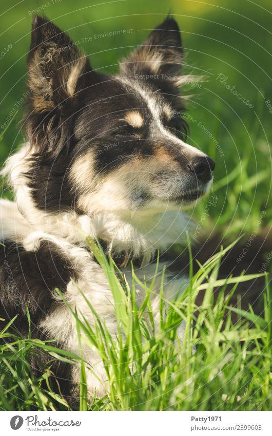 Border Collie Natur Landschaft Gras Wiese Tier Haustier Nutztier Hund Schäferhund Hirtenhund 1 beobachten liegen Sicherheit Schutz achtsam Wachsamkeit Teamwork