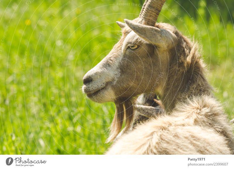 Thüringer Waldziege Tier Haustier Nutztier Ziegen 1 liegen Blick Idylle Farbfoto Außenaufnahme Textfreiraum links Tag Sonnenlicht Tierporträt Blick nach vorn