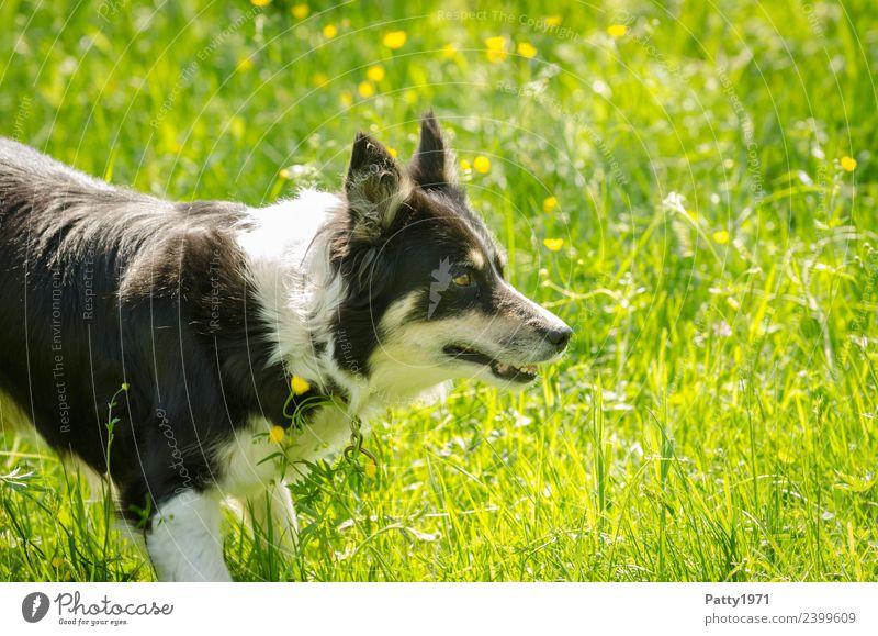 Border Collie Umwelt Natur Gras Wiese Tier Haustier Nutztier Hund Hirtenhund Schäferhund 1 beobachten Sicherheit Schutz achtsam Wachsamkeit Neugier Interesse
