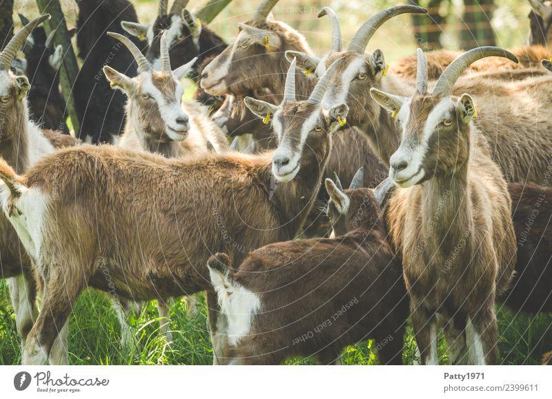 Thüringer Waldziegen Tier Idylle stehen Tiergruppe beobachten Zusammenhalt Haustier Herde Nutztier Ziegen Ziegenherde
