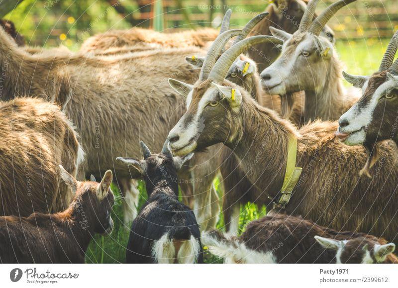 Thüringer Waldziegen Tier stehen Tiergruppe Zusammenhalt Haustier Herde Nutztier Ziegen Ziegenherde