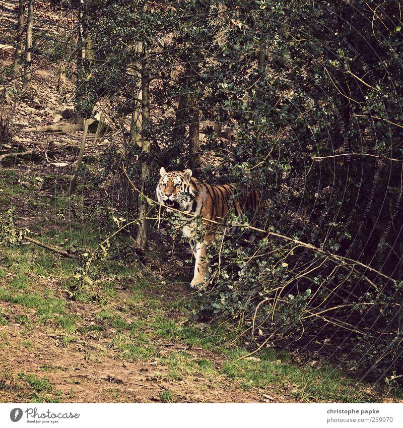 Kätzchen im Wald Natur Tier Wildtier Zoo 1 Aggression exotisch Tiger bedrohlich Farbfoto Außenaufnahme Tag Baum Sträucher Menschenleer Blick stehen