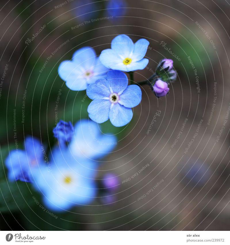 blaue Blüten II Umwelt Natur Pflanze Frühling Blume Vergißmeinnicht Blütenblatt Blühend Duft schön natürlich braun Frühlingsgefühle Farbfoto Außenaufnahme