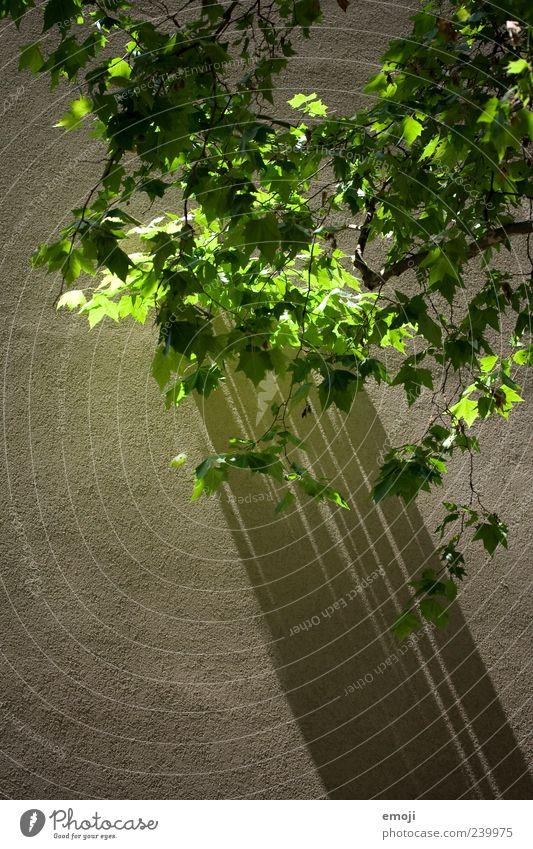 Schattenwurf Frühling Pflanze Baum Mauer Wand Fassade grün Farbfoto Außenaufnahme abstrakt Strukturen & Formen Menschenleer Textfreiraum unten Tag Licht