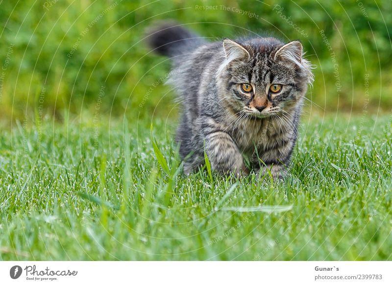 Junge Katze spielt im Gras... grün Tier Auge Wiese natürlich Spielen entdecken Haustier Fell Jagd Tiergesicht Pfote Tiger Krallen