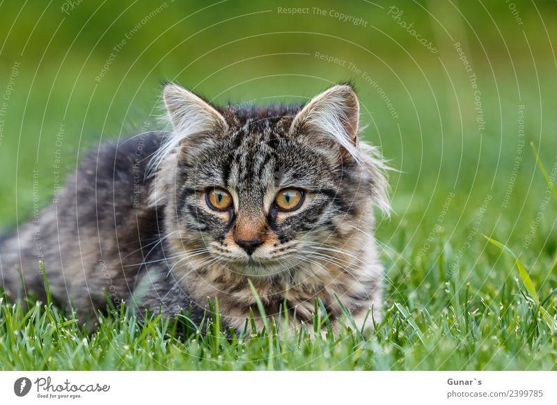 Junge Katze spielt im Gras... Wiese Tier Haustier Tiergesicht Fell Krallen Pfote Katzenbaby Tiger Tigerkatze Tigerfellmuster 1 grün Spielen Neugier
