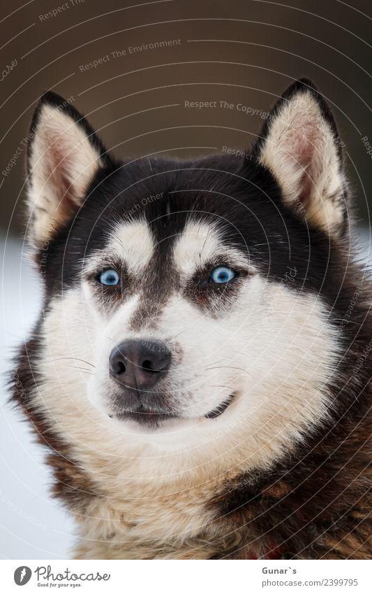 Husky mit blauen Augen.... Tier Haustier Nutztier Hund Tiergesicht Fell Pfote Schlittenhund Schlittenhundrennen 1 Fitness Abenteuer Ferien & Urlaub & Reisen
