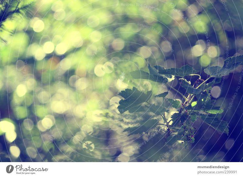 Gartentraum Natur grün Baum Pflanze Sommer Wald Gefühle Stimmung ästhetisch Grünpflanze Eibe