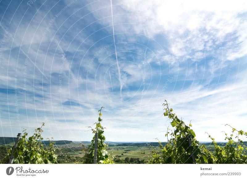 So wächst es sich gut Umwelt Natur Landschaft Pflanze Himmel Wolken Horizont Sonnenlicht Sommer Schönes Wetter Nutzpflanze Wein Feld Weinberg Wachstum blau grün