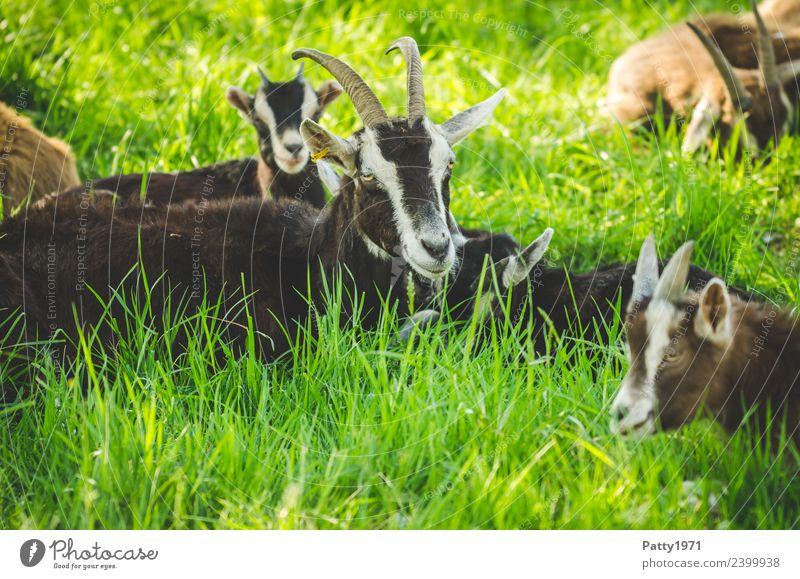 Thüringer Waldziegen Natur Landschaft Wiese Weide Tier Haustier Nutztier Ziegen Herde Tierfamilie liegen schlafen Erholung Idylle Zusammenhalt Farbfoto