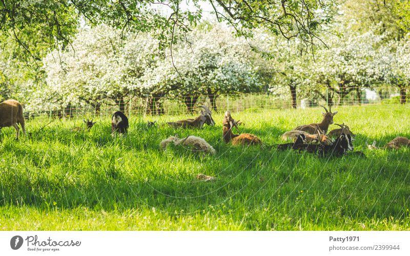 Thüringer Waldziegen Natur Landschaft Wiese Weide Tier Haustier Nutztier Ziegen Ziegenherde Tiergruppe Herde liegen schlafen Erholung Idylle Zusammenhalt