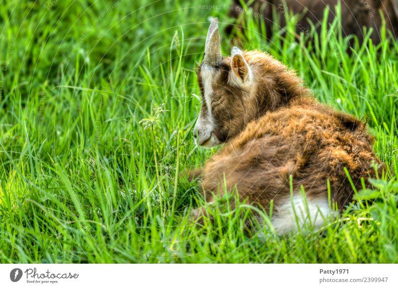 Junge Thüringer Waldziege Natur Landschaft Wiese Weide Tier Haustier Nutztier Ziegen 1 Tierjunges liegen schlafen Erholung Idylle Farbfoto Außenaufnahme